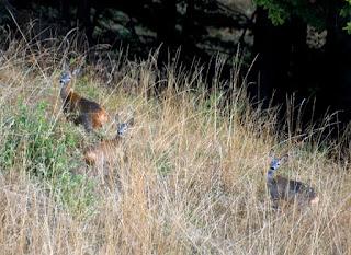 Caprioare Muntii Persani Wildlife romania