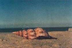 Um Velho Búzio Abandonado Na Areia