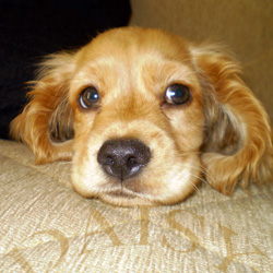 cocker spaniel Daisy