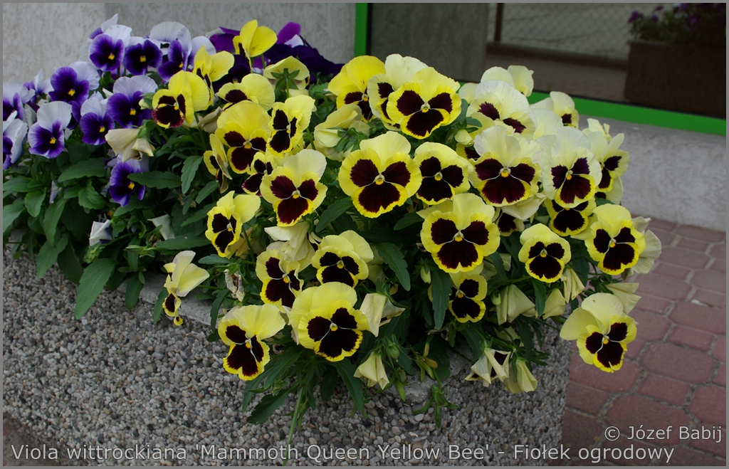 Viola wittrockiana 'Mammoth Queen Yellow Bee' - Fiołek ogrodowy, bratek