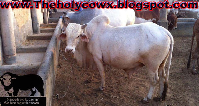 Jawaid Cattle Farm 2013 Cows