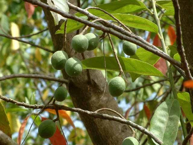 Pohon Genedri ( Ganidri ) Jenitri   Aspal Putih