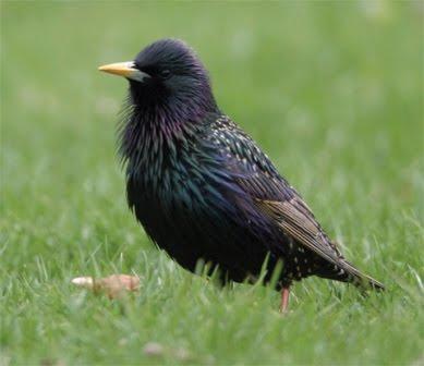 burung kumpulan burung jalak