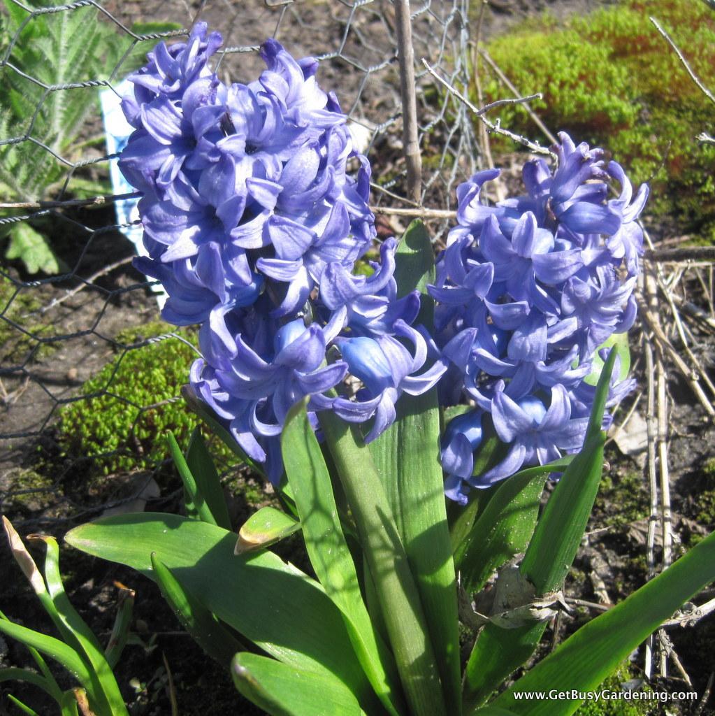 Hyacinth spring blooming bulb