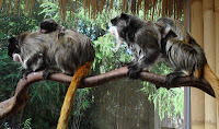 Emperor Tamarin Photos and Pictures 19