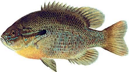 Freshwater fish ny freshwater fishes nys dept of for Freshwater fishing ny