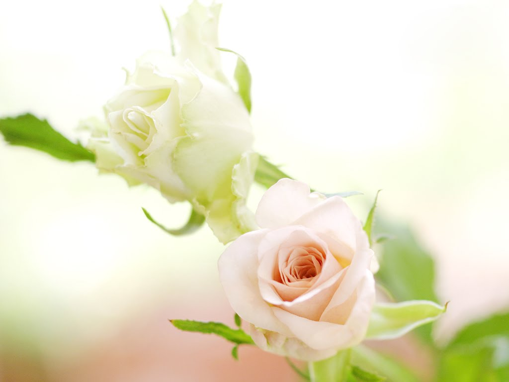White Rose Desktop Hd Wallpapers