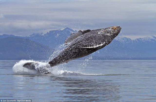 صـــــور مذهـلة للحيتان الحدباء وهي ترقص في مياة المحيط الهادئ في ألاسكا  Humpback%20whales05