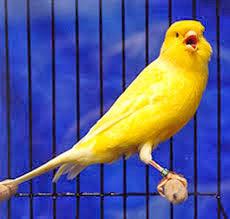 Cara Membuat Burung Kenari Rajin Berkicau Atau Gacor