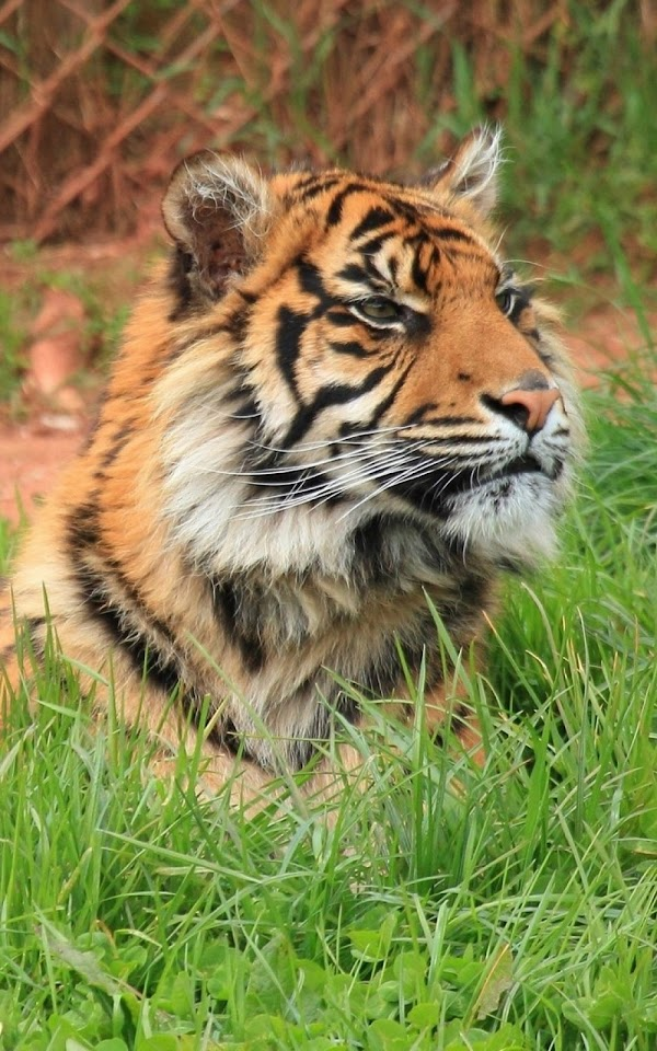 Tiger Big Cat Wild  Galaxy Note HD Wallpaper