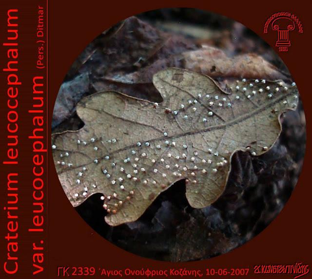 Craterium leucocephalum var. leucocephalum (Pers.) Ditmar