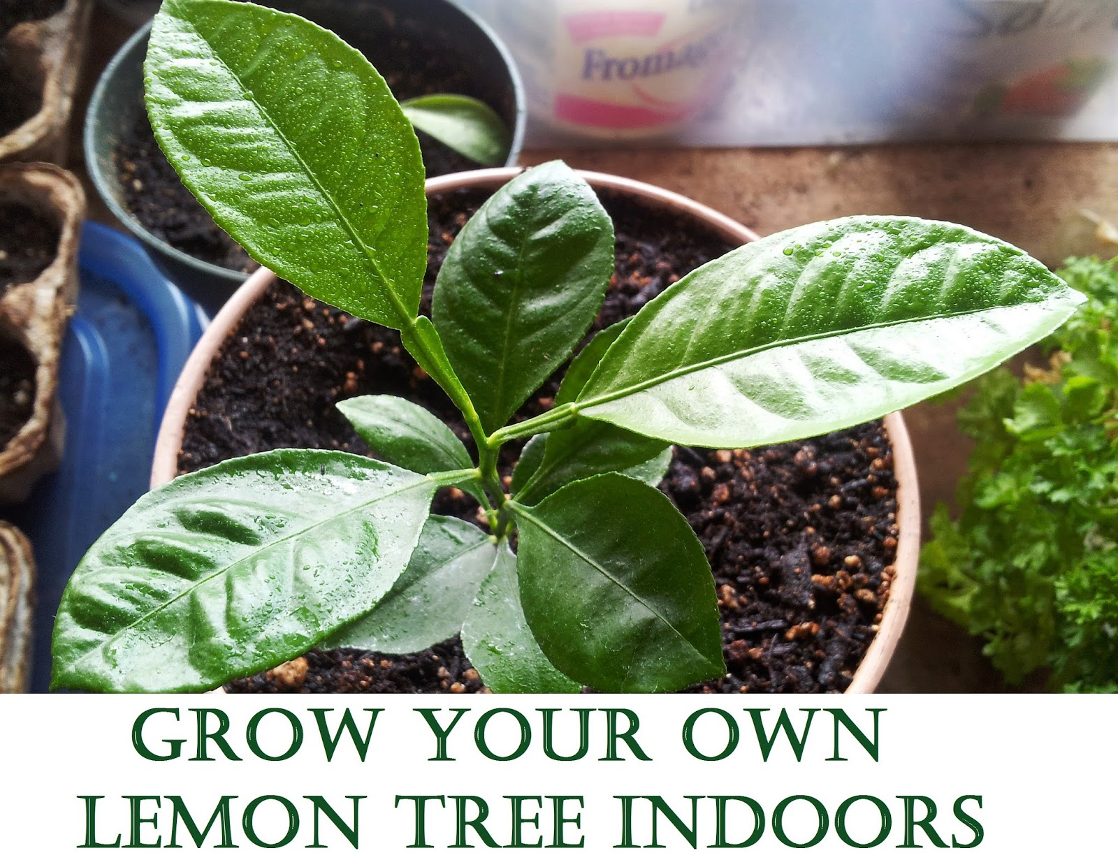 Adventures in self sufficiency how to grow a lemon tree Planting lemon seeds for smell