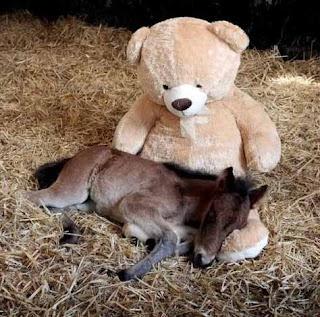 Kuda tidur di Tedy Bear