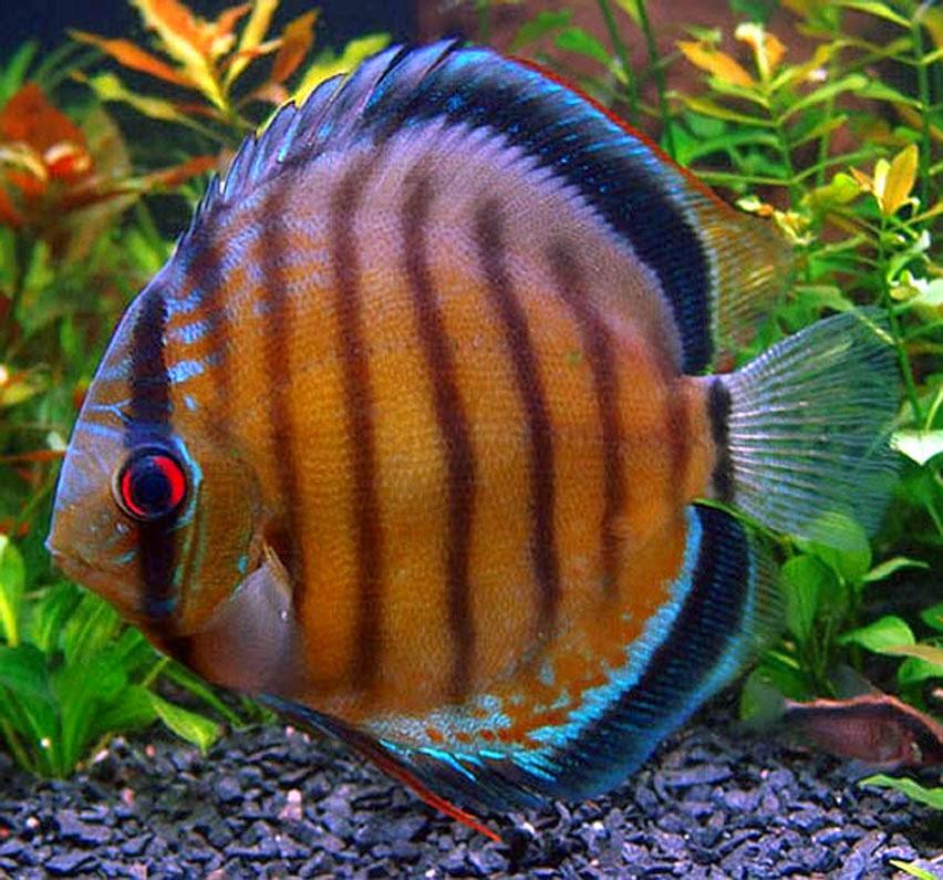Peces y plantas ornamentales symphysodon spp pez disco for Reproduccion de peces ornamentales