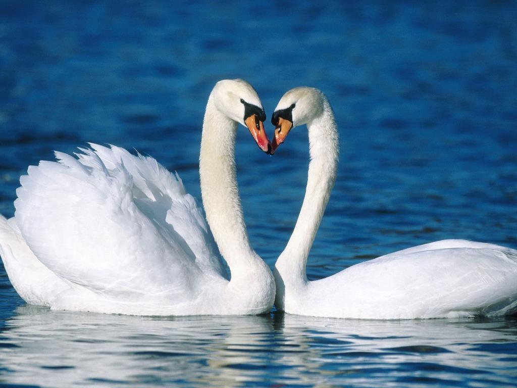 http://4.bp.blogspot.com/-IkxMRckh5o8/TVa7uT1uwVI/AAAAAAAAF_4/Xk_oTA6Q1U8/s1600/Zaljubljeni-labudi-download-besplatne-ljubavne-slike-zivotinja-pozadine-za-desktop-ljubavne-zivotinje-valentinovo.jpg