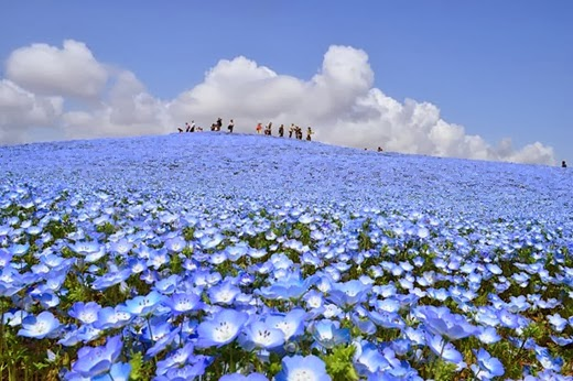 Hitachi Seaside Park in Hitachinaka, Ibaraki, Japan