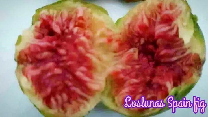 Blanquette and Loslunas Spain fig