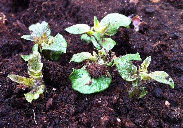 Potatisblast som sticker upp ur jord