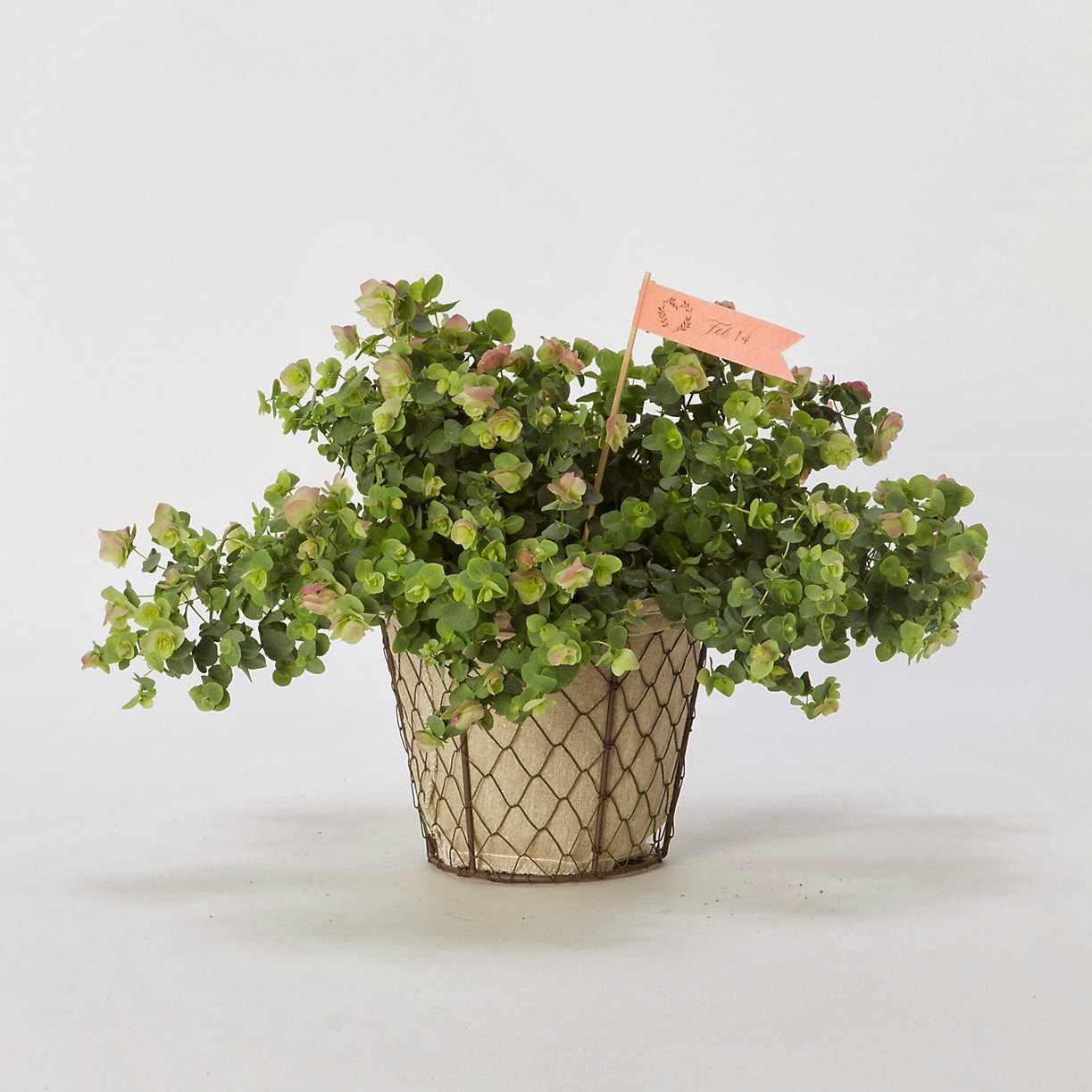 http://www.shopterrain.com/product/flowering-oregano-plant