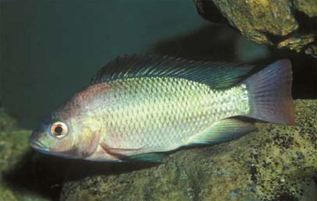 Artes de pesca vamos a pescar tilapia 4 parte for Mojarra tilapia criadero