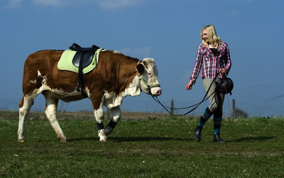 Amazing Show Jumper Cow Seen On www.coolpicturegallery.us