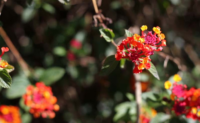 Lantana Flowers Pictures