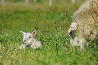 De Grullos a Beifar, ovejas