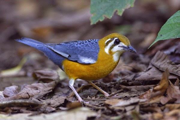 Burung Anis Cendana Terbaik