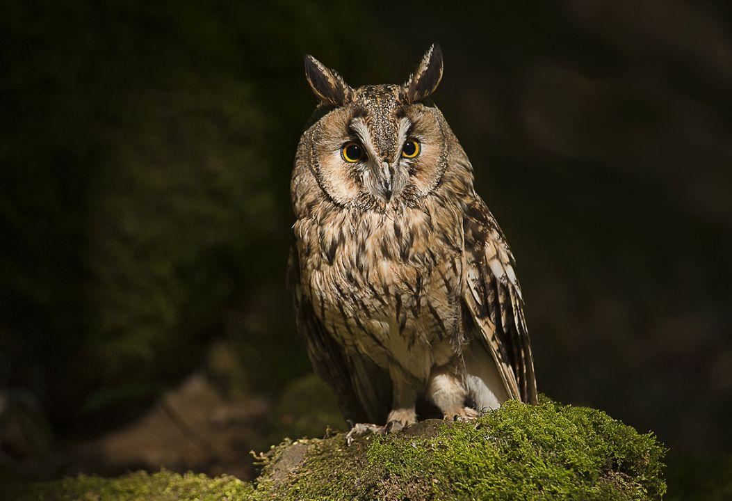 15. Long-Eared Owl