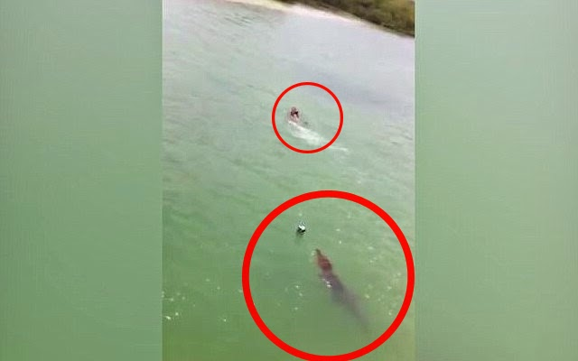 Crocodile Chases Swimmer Tourist in Mexico
