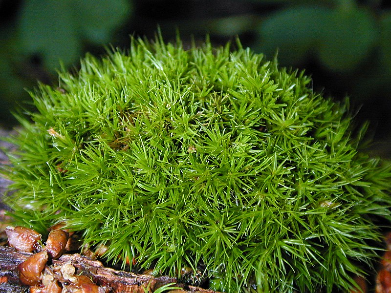 Bryophytes asexual reproduction budding
