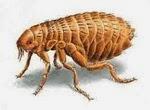 Remédios caseiros para acabar com pulgas