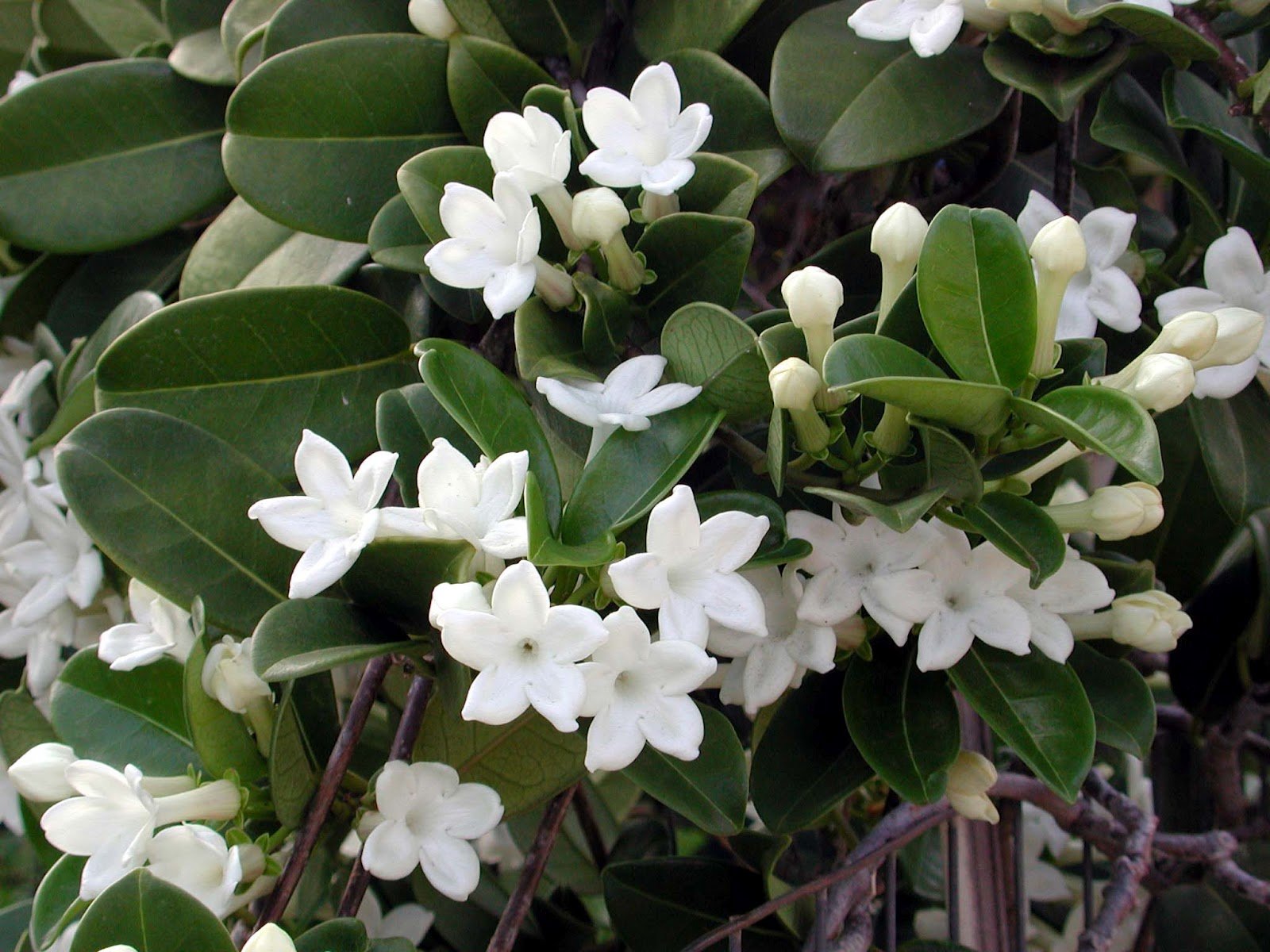 Stephanotis by any other name is marsdenia hawaii horticulture stephanotis flowers are most abundant in spring and early summer but a spattering of flowers izmirmasajfo