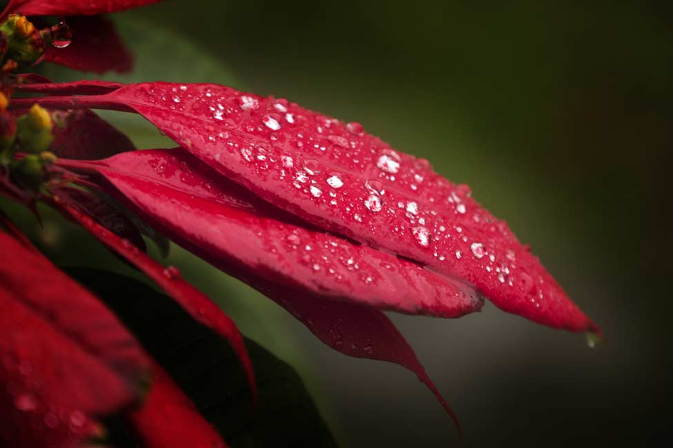 Poinsettia leaves with raindrops