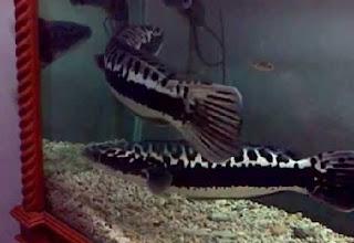 budidaya ikan koi di akuarium,cara budidaya ikan hias di akuarium,budidaya ikan baung,budidaya ikan haruan,budidaya ikan tapah,