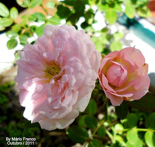 Famosos Meu Cantinho Verde: MINI-ROSA - ( Rosa x chinenensis ) JX31