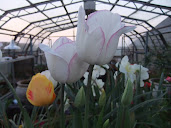 Tulip white with purple edge bnnb