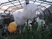 Tulip white with purple edge bnnb