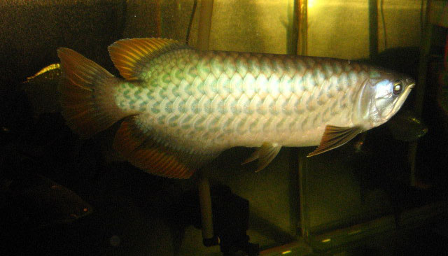 Green Asian Arowanas Photos