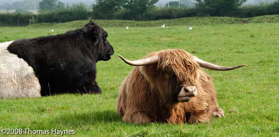 Belted Galloway and HIghland Cattle