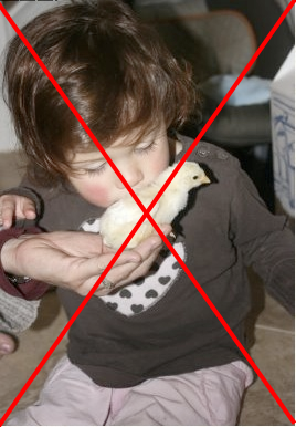 Unsafe Practice:  Infant kissing chick, risk of salmonella poisoning or other disease causing severe illness or death