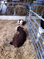Calves at Farmer Falmers