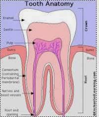 Struktur Gigi Manusia