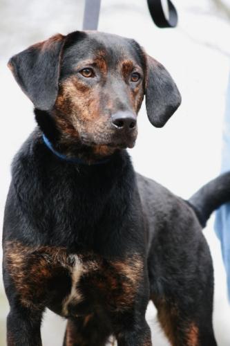 Dog Ready For Adoption Labrador Retriever Great Pyrenees Mixed Dog