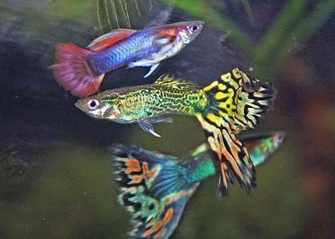 Guppies Eat Tropical Fish Food