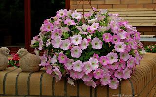 http://fotobabij.blogspot.com/2015/03/petunia-ogrodowa-pink-morn-i-ptaszki.html