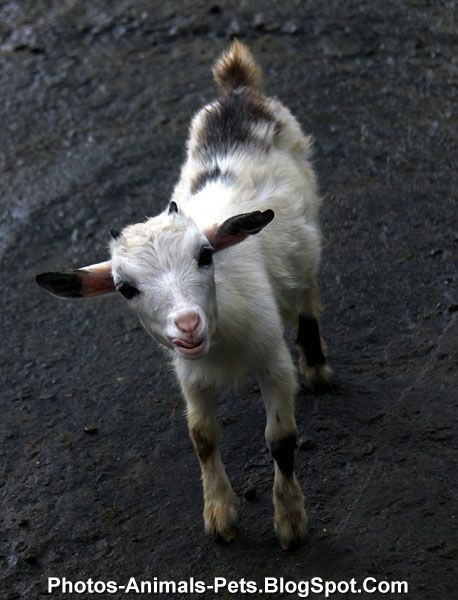 Baby goat pictures