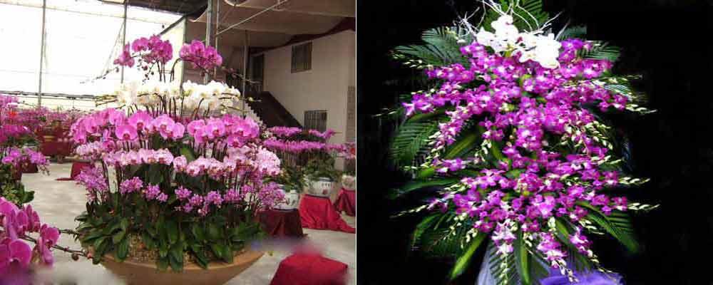 lan hồ điệp , bán hoa phong lan ho diep giá rẻ