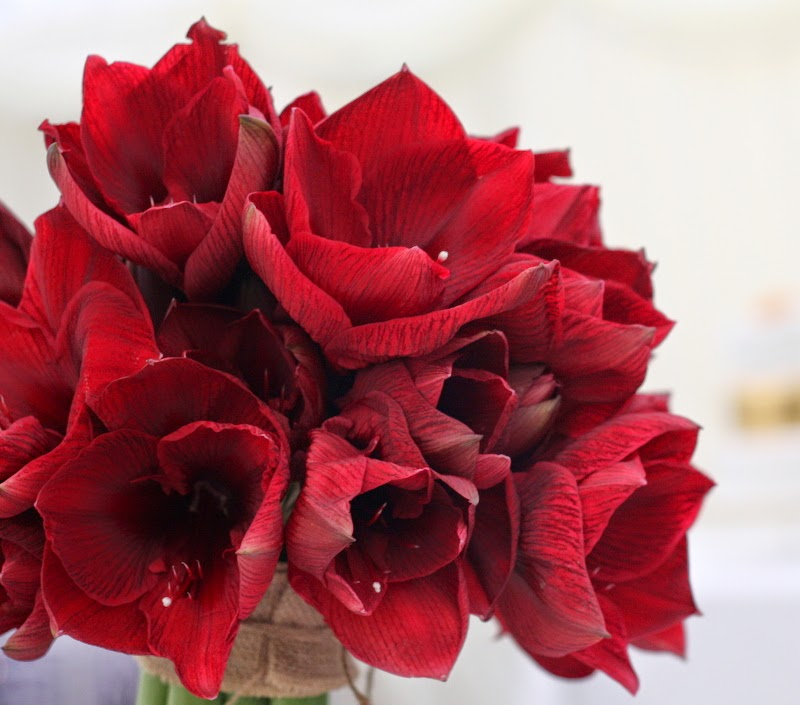 Super stylish wedding flowers for tim gill at the inn at for Amaryllis royal red