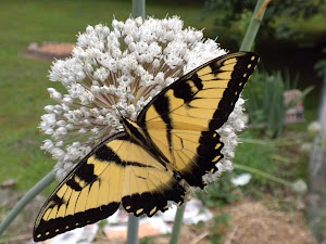 Butterflies Love Allium
